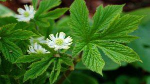 گل مهرطلا و مصارف پزشکی
